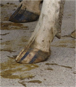 #1 Healthy Cow Hoof