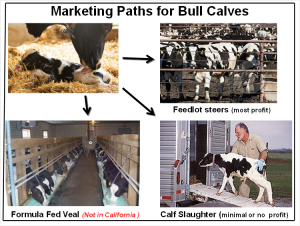 #2 Bull Calf Marketing Channels