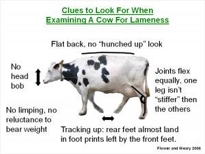 #4 Lameness Clues Cow Pic