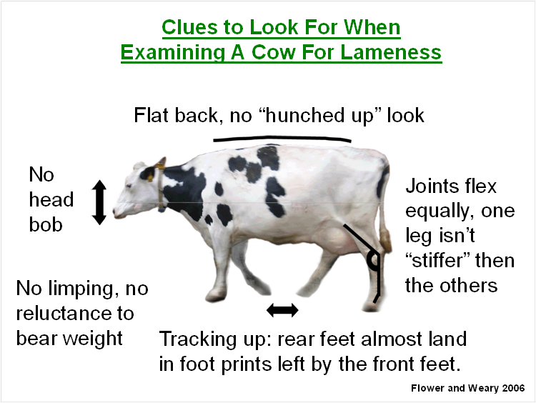 Cdqap Ruminations Lameness Your Bottom Line California Dairy