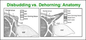 disbudding vs dehorning anatomy