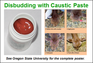 disbudding with caustic paste