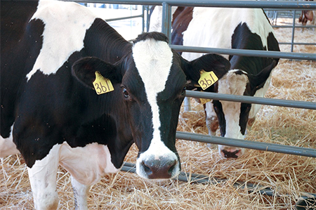 California dairy cows, like these, help prepare veterinarians for their careers on dairy farms throughout the state. The California dairy industry invests in new technologies set to improve overall dairy cattle health, increase industry profits and ensure that consistently high-quality dairy products are available to consumers. Photo by vetmed.ucdavis.edu.