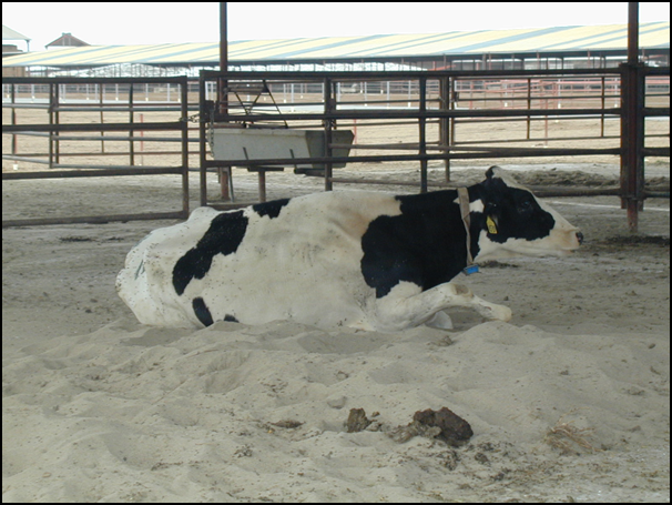 Economics of a non-ambulatory cow