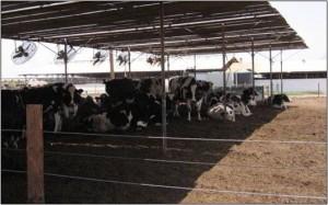 cows under shade