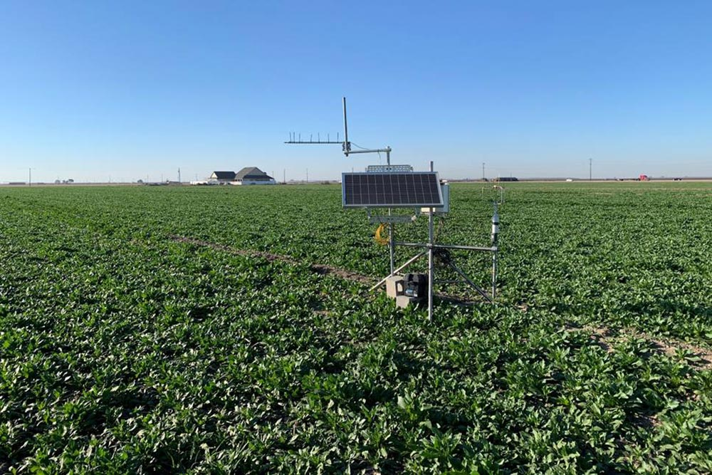 Growing and feeding field of sugarbeets