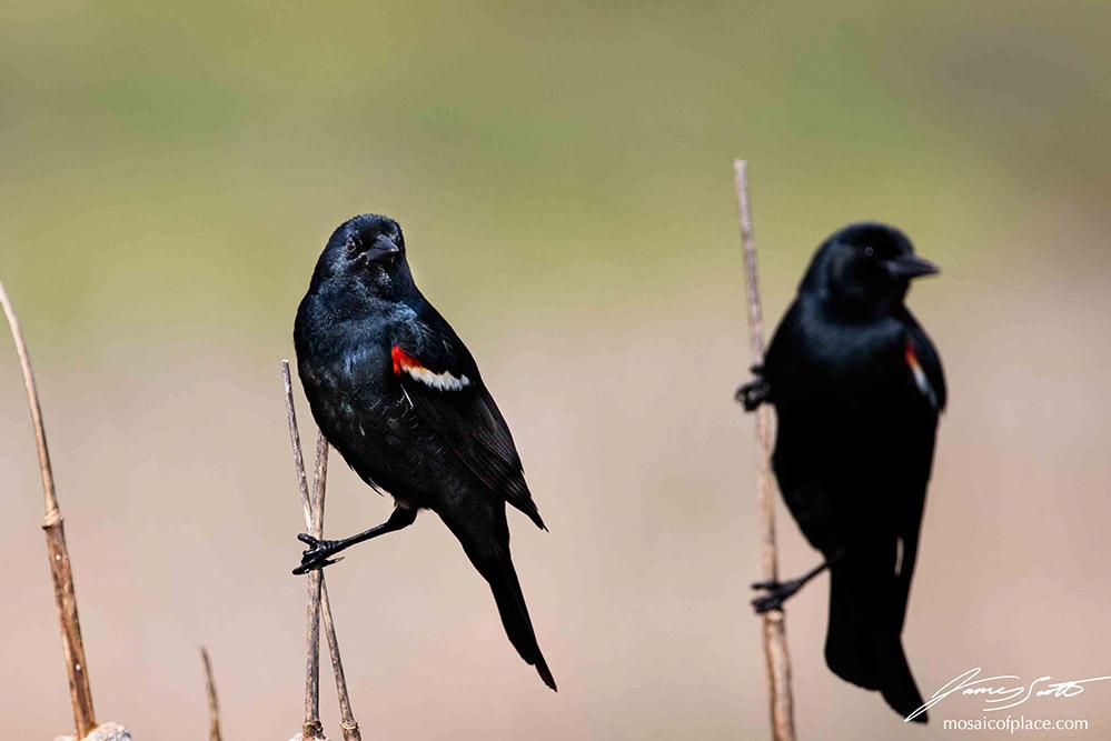 Tri-color Blackbirds
